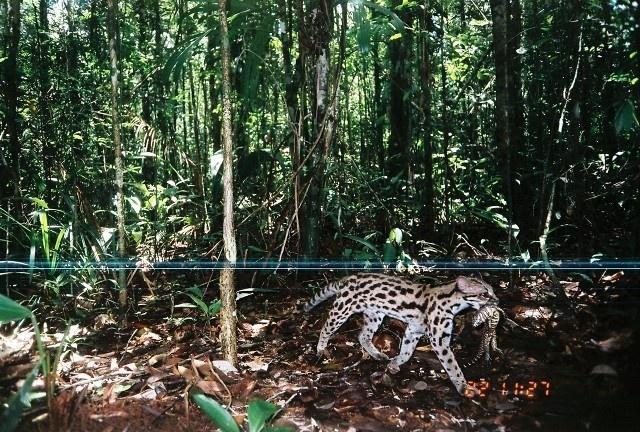 Gato-do-mato-pequeno_Leopardus wiedii 2_luz